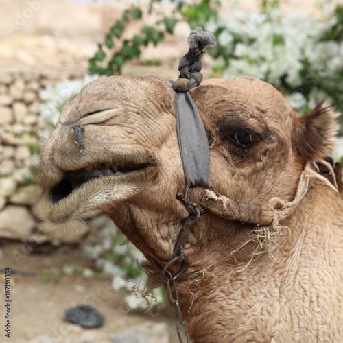 Fotobehang Kameel Dromedary Camel on the Street near Jericho. Israel