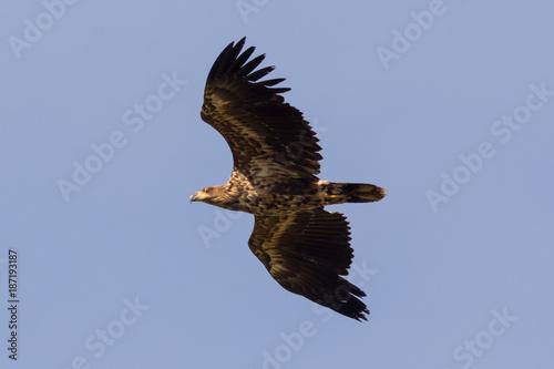 Plexiglas Eagle young sea eagle in flight Haliaeetus albicilla