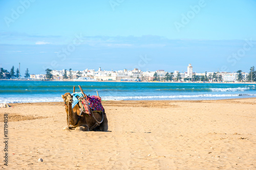 Fotobehang Kameel Camels on the beach in Essaouira