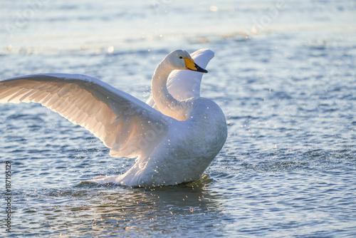 Fotobehang Zwaan 羽ばたく白鳥