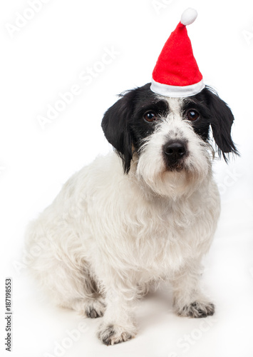 Russell Terrier dog wearing red santa hat happy new year 2018 symbol