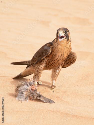 Peregrine falcon - Dubai Desert Conservatio Reserve - Al Maha - UAE