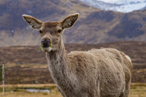 Aluminium Hert Deer eating lettuce with a closed mouth
