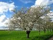 Blühende Apfelbäume bei Plankstadt