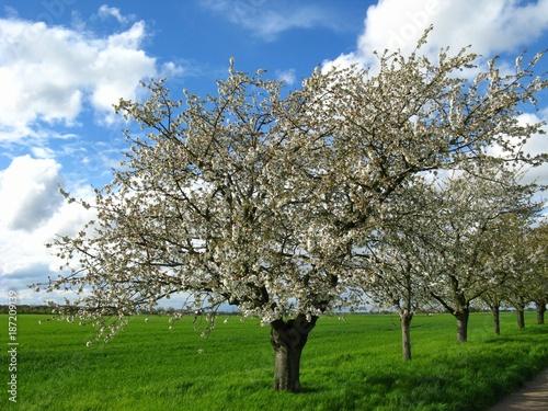 Blühende Apfelbäume bei Plankstadt - 187209139
