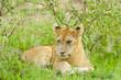 Closeup of a  Lion cub in the rain (scientific name: Panthera leo, or