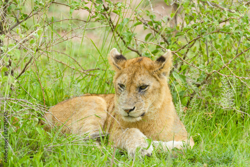 """Closeup of a  Lion cub in the rain (scientific name: Panthera leo, or """"Simba"""" in Poster"""