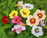 Calibrachoa multicolor