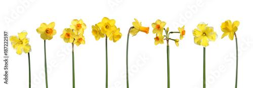 In de dag Verse groenten Différentes variétés de narcisses
