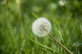 Dandelion, nature
