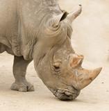 rhinocero head closeup - 187223506
