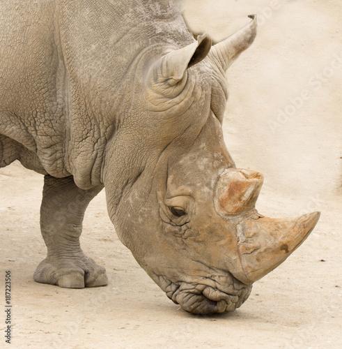 Aluminium Neushoorn rhinocero head closeup