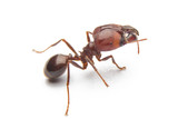 Fototapety Red ant isolated on white background.