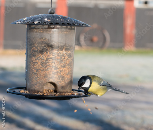 Foto Murales Great tit