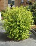 Fototapeta Sypialnia - Bosquet de bambou sur une terrasse © hcast