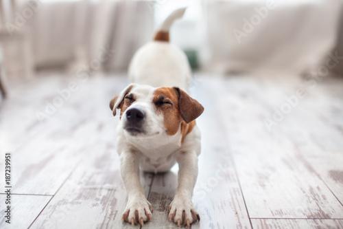 Cute dog stretches