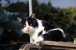 Gatto bianco e nero - 187241704