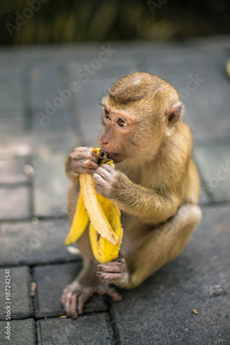 Plexiglas Aap Monkey is eating banana. Thailand, Phuket, Monkey hill.