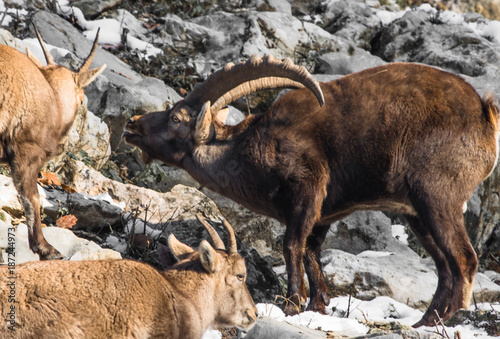 Foto Murales group of ibex in winter season