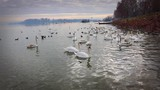 Swans on the Danube River  - 187248173