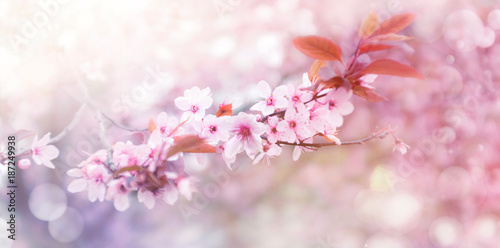 Kirschblüte im Frühling - 187249938