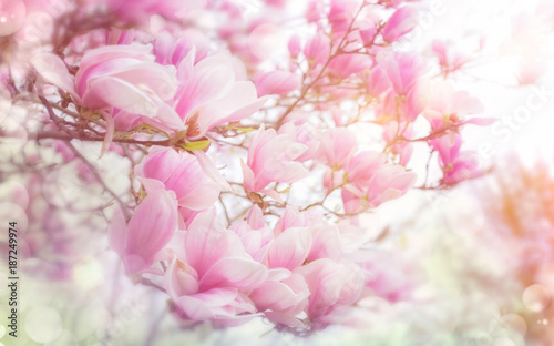 Fotobehang Lichtroze Magnolienblüte im Frühling