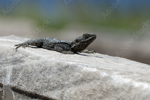 Lizard - 187260375