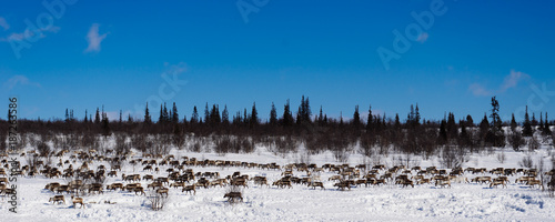 Foto Murales in the far cold north, a herd of wild reindeers runs across the snow-covered field
