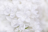 Lilac flowers. white lilac on a light background.Spring  - 187293191