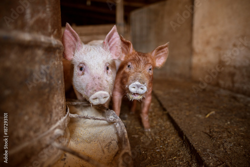 Foto Murales A small piglet in the farm. Swine in a stall. Group of pig in the countryside farm.