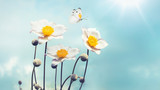 Fototapety Beautiful white Japanese anemones and flying butterfly on a blue sky background in the spring sun on nature close-up macro in gentle pastel vintage tones. Free space for text.