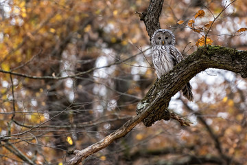 Ural owl with white and black feathers photographed on an autumn forest background in Romania