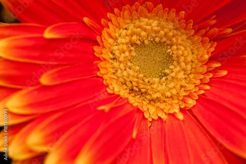 Fotobehang Gerbera bright unusual red gerbera with yellow border on petals