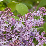 densely growing flowers on the branches of the spring lilac - 187301140
