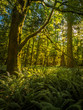 Leinwanddruck Bild - Beautiful green rainforest on Vancouver Island, Canada illuminated by the rising sun