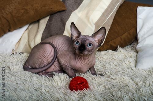 Aluminium Kat Sphynx cat