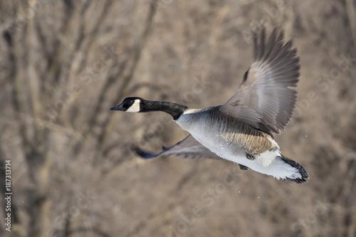 Foto op Plexiglas Canada Canada geese (Branta canadensis) flying, Saylorville Lake, Iowa, USA