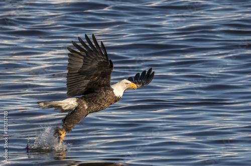 Plexiglas Eagle Bald eagle (Haliaeetus leucocephalus) fishing at Mississippi River, Iowa, USA