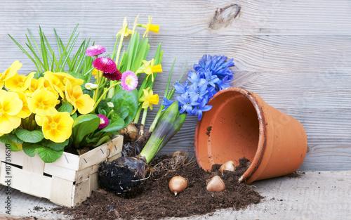 Spring, Frühling, Frühlingsblumen, pflanzen, anpflanzen, Pflanzzeit, Primeln, Narzissen, Textraum, copy space - 187316510