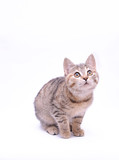 Cute little grey kitten playing on a white background     - 187323917