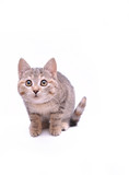 Cute little grey kitten playing on a white background  - 187324319