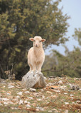 A lamb standing on a stone in Croatia - 187325797