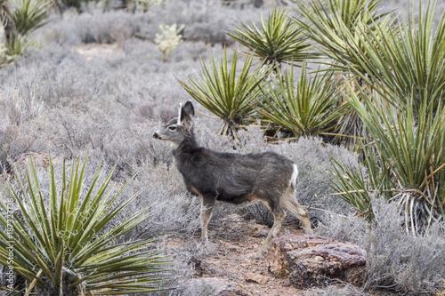 Aluminium Hert Small juvenile deer in Red Rock Canyon National Conservation Area near Las Vegas, Nevada.
