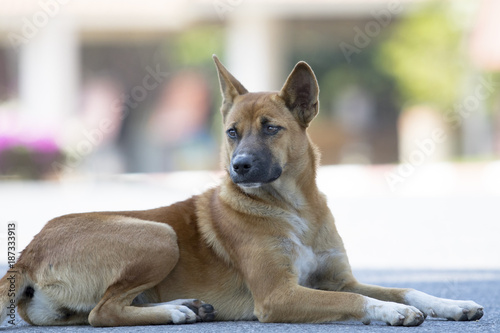 thai domestic dog lying on asphalt street Poster