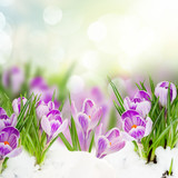 spring crocuses under snow - 187334550