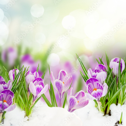 spring crocuses under snow