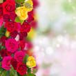 blooming roses garden