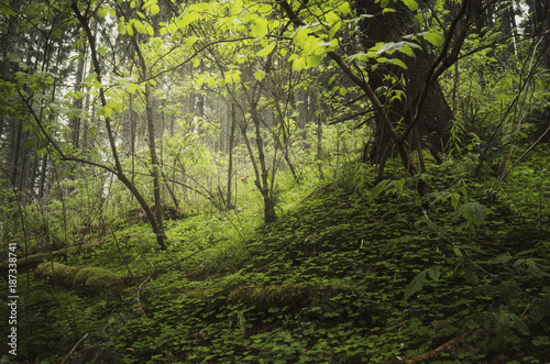 Foto Murales green plants and lush vegetation in natural forest