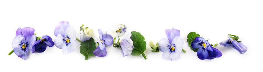 purple blue pansy flowers and leaves in a row, spring banner background in panoramic format isolated with small shadows on a white background © Maren Winter