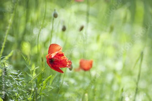 Fotobehang Klaprozen poppies